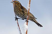 Female Red-winged Blackbird (Agelaius phoeniceus).  Pacific Northwest.  February.