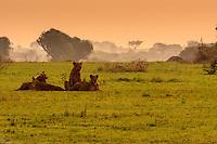 Africa, Uganda , Queen Elisabeth park,lions at rest after hunting