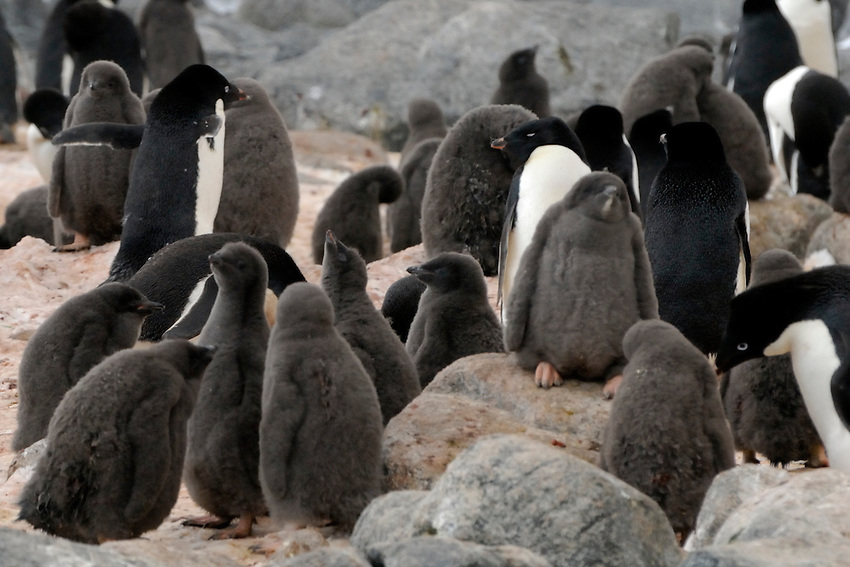 I'm King of the Rock - Adelie penguins and chicks in their rookery at Boat Harbor