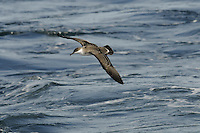 Great Shearwaters Puffinus gravis breed in the southern Atlantic (on islands of New Zealand and South America); outside the breeding season they undertake a circum-Atlantic journey, passing through European waters mainly from July to September.
