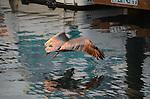 Brown pelican in Santa Barbara