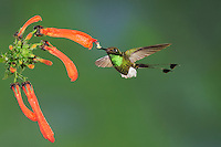 Booted Racket-tail (Ocreatus underwoodii), male feeding from flower,Mindo, Ecuador, Andes, South America