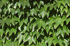 Efeu<br /> <br /> ivy<br /> <br /> hiedra