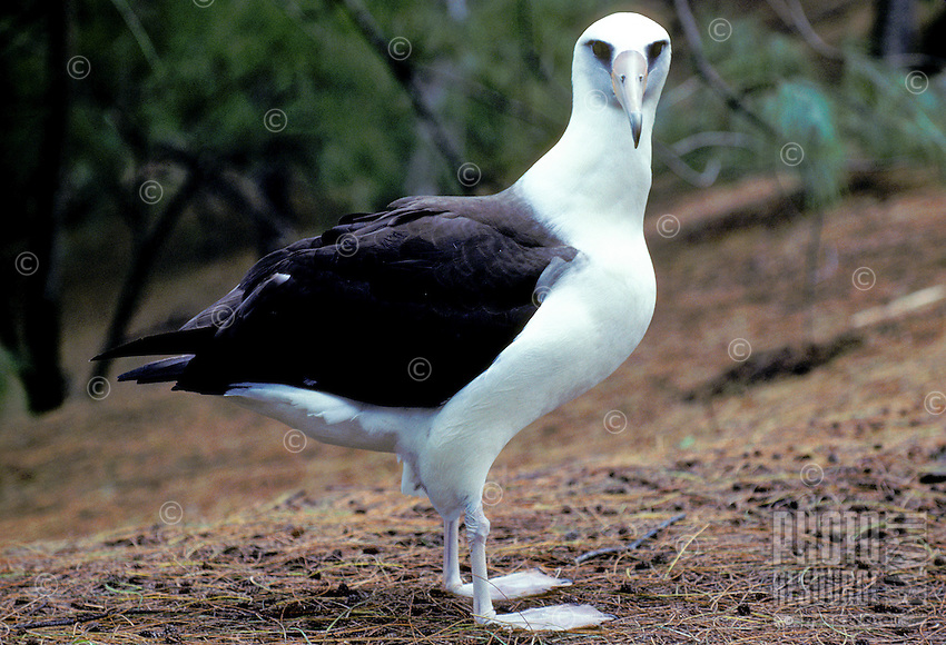 Laysan albatross or moli, (diomedea immutabilis). Nests in large numbers on the northwest chain.