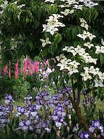 Dogwood,iris and lupines at Schrieners Iris Gardens, Salem, Oregon.