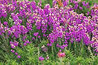 Graue Heide, Grauheide, Graue Glockenheide, Erica cinerea, bell heather, heather-bell, La bruyère cendrée