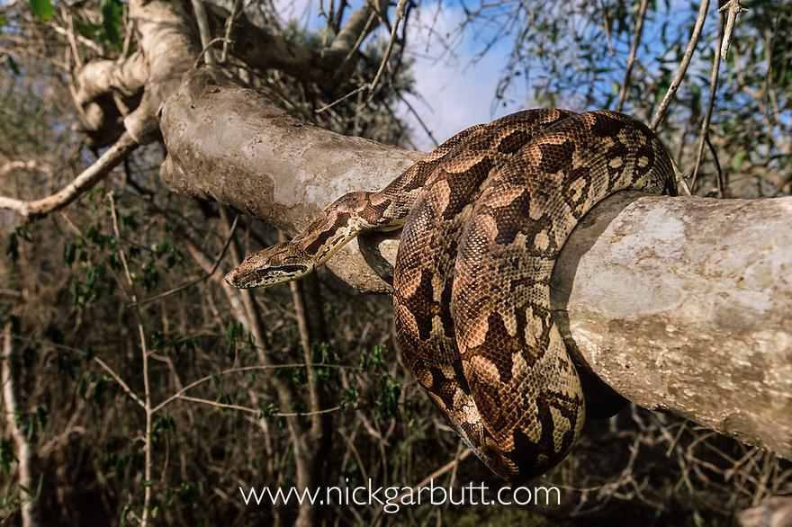 Dumeril's Ground Boa (Acrantophis dumerili) basking. Ifaty spiny forest, south west Madagascar