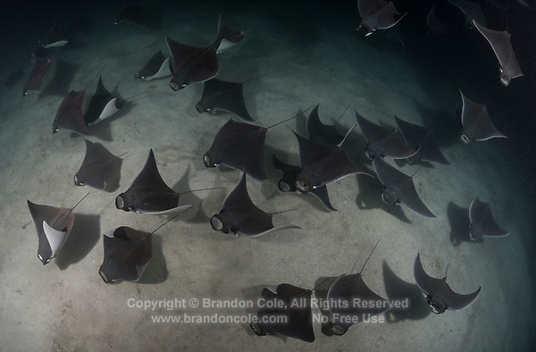 Smoothtail Mobula Rays (Mobula munkiana), an aggregation of hundreds of the 2 to 3 foot wide rays are feeding on plankton at night. Baja, Mexico, Sea of Cortez, Pacific Ocean.<br /> Photo Copyright &copy; Brandon Cole. All rights reserved worldwide.  www.brandoncole.com