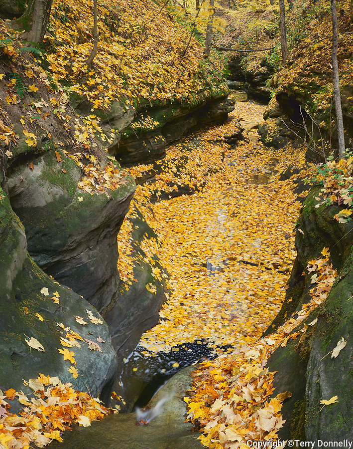 Starved Rock State Park, IL: Leaf covered sandstone grotto above Kaskaskia Canyon in autumn