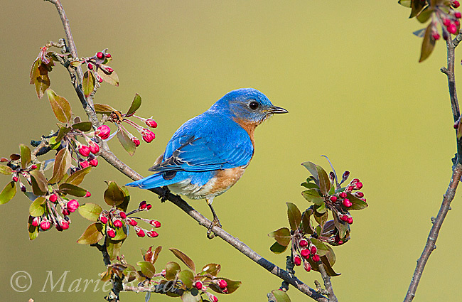 Eastern Bluebird (Sialia sialis) male perched amid crabapple flower buds in spring, New York, USA
