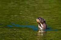 Giant River Otter, Pteronura brasiliensis, Pousada Sao Francisco, Miranda, Mato Grosso do Sul, Pantanal, Brazil