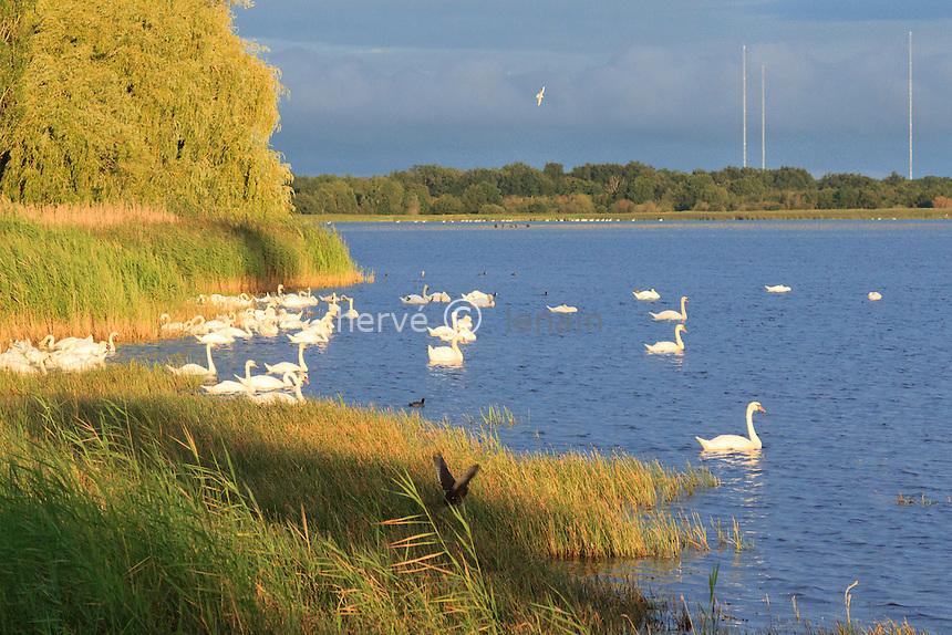 France, Indre (36), parc naturel régional de la Brenne, Lingé, étang de la Gabrière le soir, cygnes tuberculés // France, Indre, Natural Parc of the Brenne, Linge, pond of the Gabriere in the evening, Mute Swan (Cygnus olor)