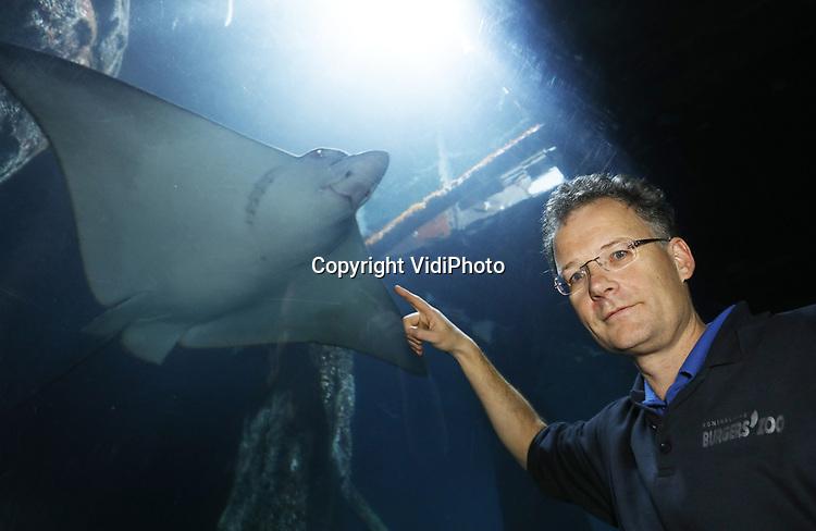 Foto: VidiPhoto<br /> <br /> ARNHEM - Bioloog Max Janse (foto) en dierenarts Henk Luten van Koninklijke Burgers&rsquo; Zoo in Arnhem hebben voor het eerst ter wereld op succesvolle wijze anticonceptie toegepast bij een vissoort. Internationale kweekprogramma&rsquo;s voor haaien- en roggensoorten hebben als doel om genetisch gezonde aquariumpopulaties in stand te houden, zodat er geen dieren meer uit het wild gehaald hoeven te worden. Voor wat betreft de beschermde soorten kunnen daarnaast in de toekomst mogelijk zelfs dieren teruggezet worden in de natuur. Bij de gevlekte adelaarsroggen van de soort Aetobatus ocellatus waarvan Burgers&rsquo; Ocean de grootste kweker ter wereld is, was een luxesituatie ontstaan. Bij twee zeer succesvol kwekende vrouwen dreigde een oververtegenwoordiging van hun genetische materiaal in de Europese populatie adelaarsroggen. E&eacute;n van de volwassen vrouwen is verhuisd. Bij de andere vrouw is voor het eerst ter wereld op succesvolle wijze anticonceptie toegepast door in de linker borstvin een anticonceptierietje te implanteren. Bij vissoorten is het pas de eerste keer dat deze methode succesvol is ge&iuml;mplementeerd. Deze doorbraak heeft verstrekkende gevolgen voor de Europese kweekprogramma&rsquo;s van diverse vissoorten. Met deze extra methode van populatiebeheer kunnen de programma&rsquo;s nog gerichter worden gemanaged.