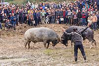 Asia,Cina,Guizhou,Chong'an,festival of Lusheng of Gejia, bufalo fight ,China minority