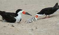 Black Skimmer with chicks, South Padre Island