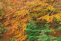 ORPTH_122 - USA, Oregon, Portland, Hoyt Arboretum, Autumn color of American beech trees (Fagus grandifolia).
