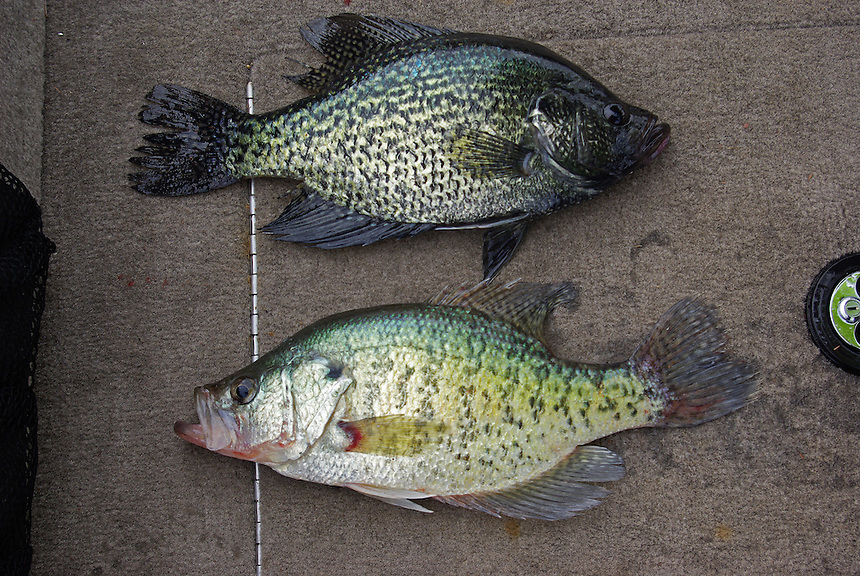 Black crappie/white crappie comparison (black crappie on top)