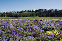 Silky Lupine (Lupinus sericeus), Yellowstone National Park, Wyoming, USA