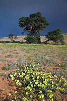 Camel thorn tree and  yellow dubbeltjies flowers in a summer Kgalagadi landscape with a dark stormy sky