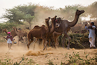 Herd of camels arrive at the Pushkar fair grounds in Rajasthan, India.