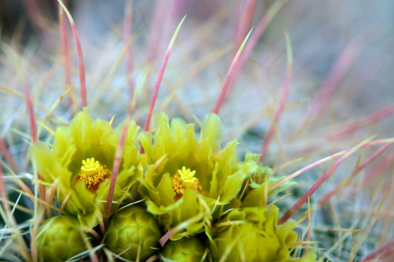 Flowers of Cotton head cactus. Anza Borrego Desert State Park, California