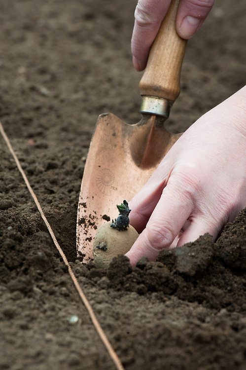 Planting seed potatoes in holes. Place the potatoes in the holes with their chits uppermost.
