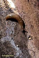 1Y12-002z  Slug - showing mucous trail that slug slid on