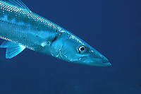 Barracuda - Sphyraeena barracuda