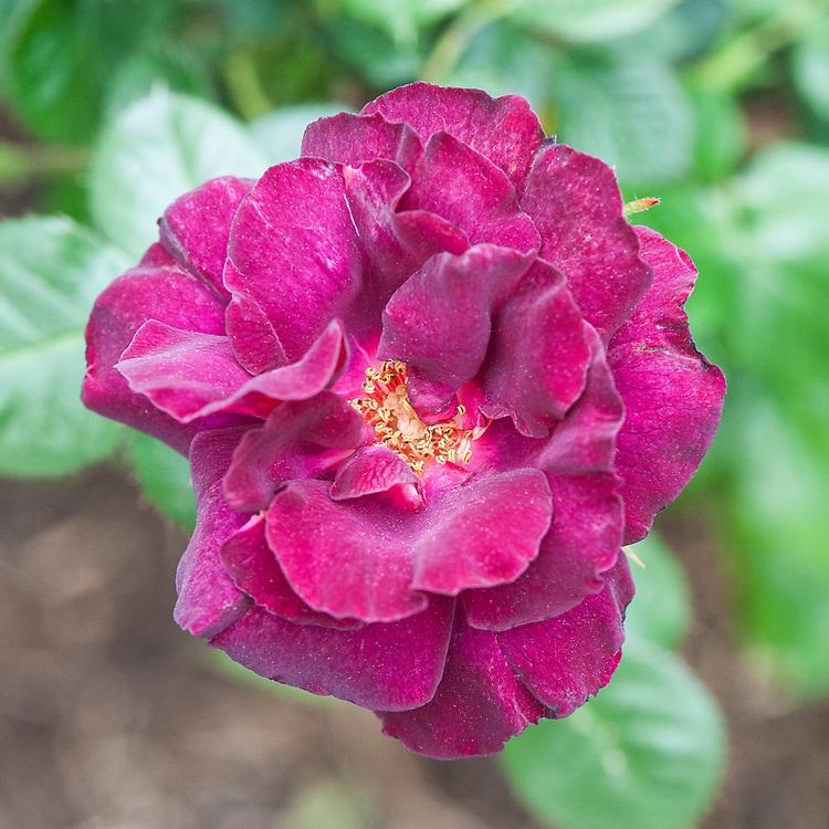Rosa Young Princess ('Tan02670'), late May. A dark purple floribunda rose bred in Germany by Christian Evers.