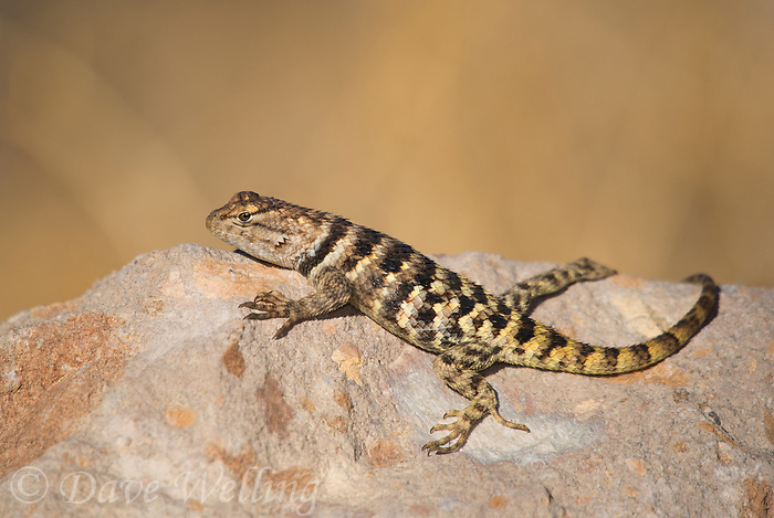 442800015 a wild yellow-backed spiny lizard sceloparus uniformis perches on a rock along chalk bluffs road near bishop inyo county california