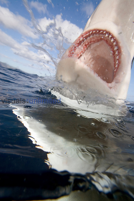 A Galapagos Shark surfacing, showing its numerous sharp teeth (Carcharhinus galapagensis). This species  can reach twelve feet in length and is listed as potentially dangerous,  Hawaii, USA.