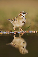 Lark Sparrow, Chondestes grammacus, adult drinking, Uvalde County, Hill Country, Texas, USA, April 2006