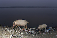 Pigs feed on domestic trash, on the banks of the Ganges River in Kanpur.