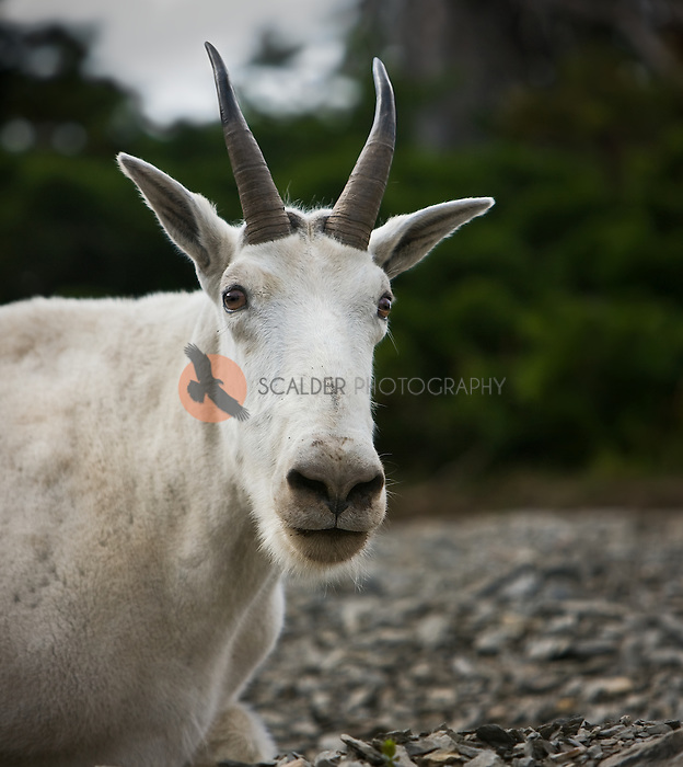 Close view of a Mountain Goat's face in Glacier National Park