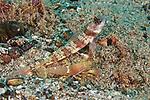 Amblyeleotris periophthalma, Broad-banded shrimpgoby, Ambon, Indonesia