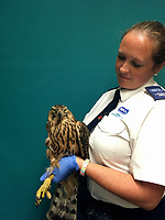 "COPY BY TOM BEDFORD<br /> FOR PICTURES PLEASE BYLINE RSPCA/Athena Pictures<br /> Pictured: The rare goshawk which has been released back to the wild after being rescued by the RSPCA<br /> Re: A rare bird of prey has been rescued and returned to the wild after it was found in a chicken coop.<br /> The goshawk was discovered at a Carmarthenshire smallholding after the owner was alerted to a ""commotion"" coming from the chicken run.<br /> The bird, which is a type of large hawk, was confined until the RSPCA attended and collected her.<br /> All chickens escaped to the upstairs of the coop and were uninjured.<br /> RSPCA animal collection officer Ellie West, who completed the rescue, said it was a ""highly unusual find"" and her ""first encounter with a wild goshawk"".<br /> She said: ""It was some ordeal for the chickens. One hen ran into the coup, and initially still had the goshawk clinging to her back.<br /> ""Fortunately, they all escaped unharmed, and were fine - as was a pretty startled goshawk.<br /> The bird of prey was monitored overnight before being released."
