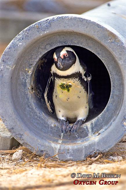 African Penguin In Culvert
