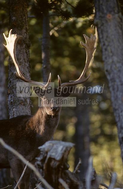 Europe/France/Languedoc-Roussillon/66/Pyrénées -Orientales/Capcir : Parc animalier des Angles - Cerf