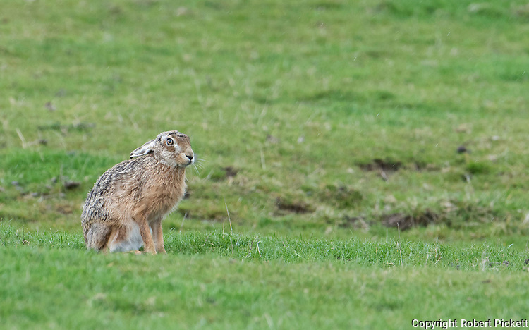 European or Brown Hare, Lepus eurupaeus, Elmely Nature Reserve, Kent UK, sitting on grassy marshland