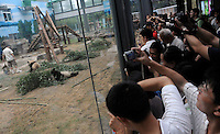 Pandas that were brought from the damaged Wolong panda reserve to Beijing and tourists Beijing Zoo, 16th August 2008.   Eight tramatised one and two year-old  pandas were brought from Wolong to Beijing for recuperation and have been placed in aan Olympic Panda exhibition at Beijing zoo and are recieving unprecadented number of visitors.  The pandas were so scaerd during the quake and refused to come down from the trees. The Wolong keepers that accompanied the pandas to Beijing cuddle and play with pandas to help them recover from their horrific experience. <br />