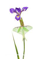 30040-00101 Luna Moth (Actias luna) on Blue Flag Iris (Iris versicolor) on white background, Marion Co., IL