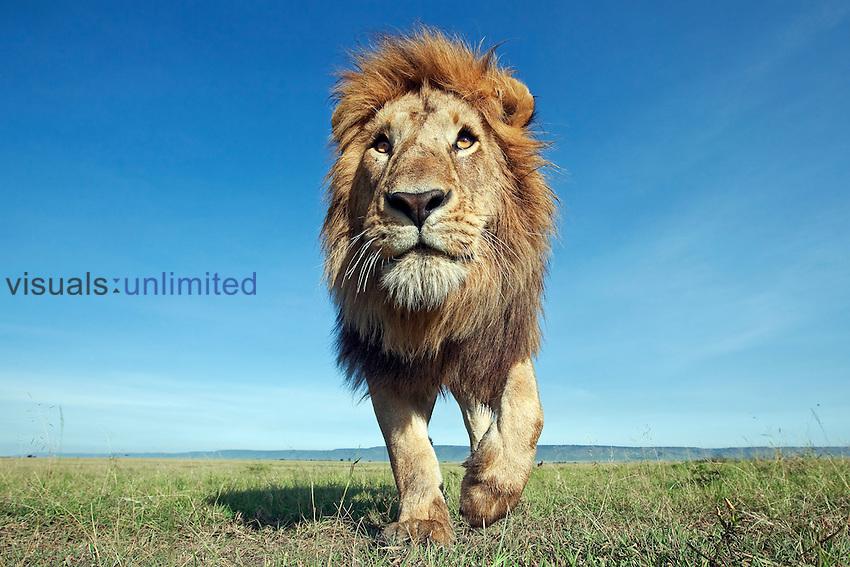 African Lion mature male  (Panthera leo), Masai Mara, Kenya.