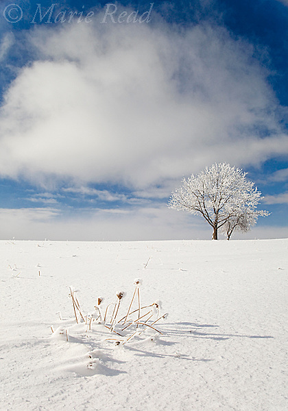 Tree covered with rime ice standing in snow-covered field, Ithaca, New York, USA. January 2010.
