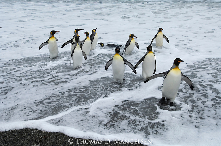 King penguins leave the ocean in Gold Harbour on a South Georgia beach.
