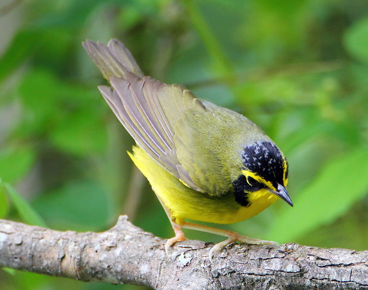 Male Kentucky warbler in spring migration