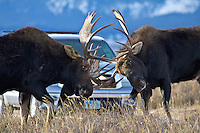 Fighting  Bull moose herd in Grand Teton National Park, Jackson Hole, Wyoming