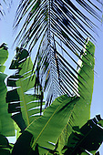 Amazon, Brazil. Banana and palm leaves. Standard crop near any village, food, housing, medicinal  and crafts.