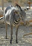 Grevy's zebra scratching self