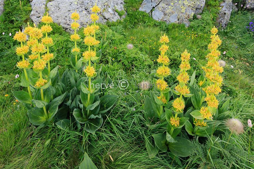 Gentiane jaune, Gentiana lutea, France, Cantal (15), proche du sommet le Plomb du Cantal // Gentiana lutea (great yellow gentian),  France, Auvergne, Plomb du Cantal near summit