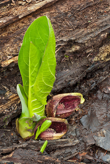 Skunk Cabbage emerges in the midst od decaying leaves and a tree trunk in Spring att Lyon Forest Preserve in Kendall County, Illinois